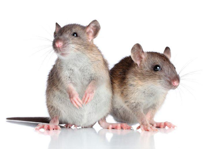 Крыса «Стандарт»