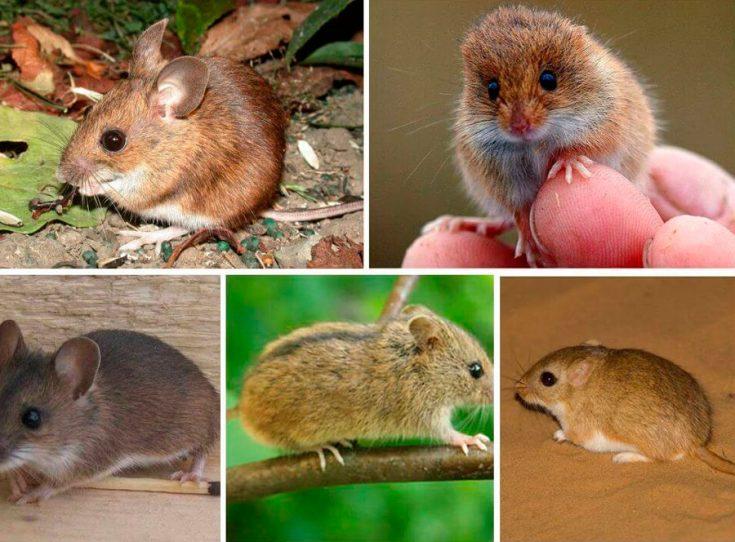 Виды мышей с фото и названиями