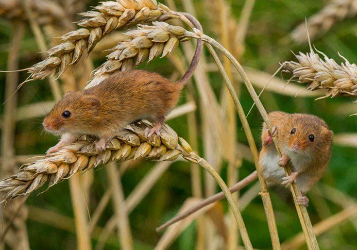 Мышь малютка