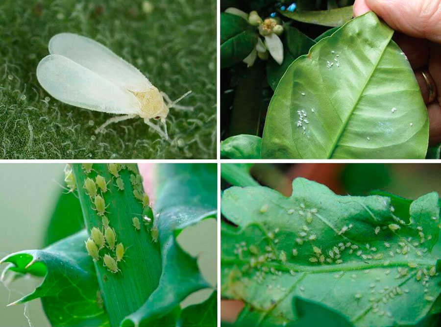 Белые прыгающие насекомые в горшках