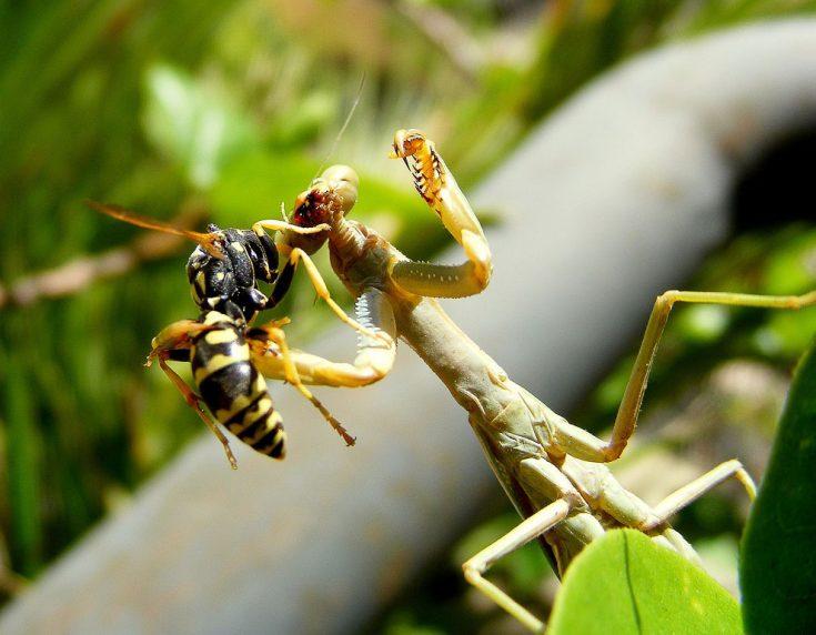 Естественные враги ос