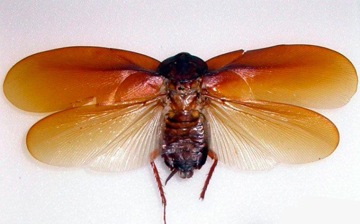 Таракан Megaloblatta longipennis