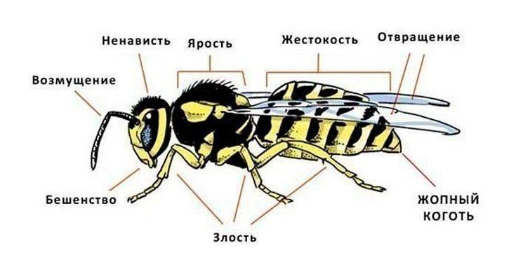 Анатомия осы
