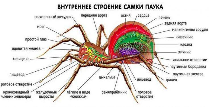 Внутреннее строение организма пауков