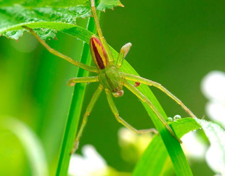 Паук зеленый