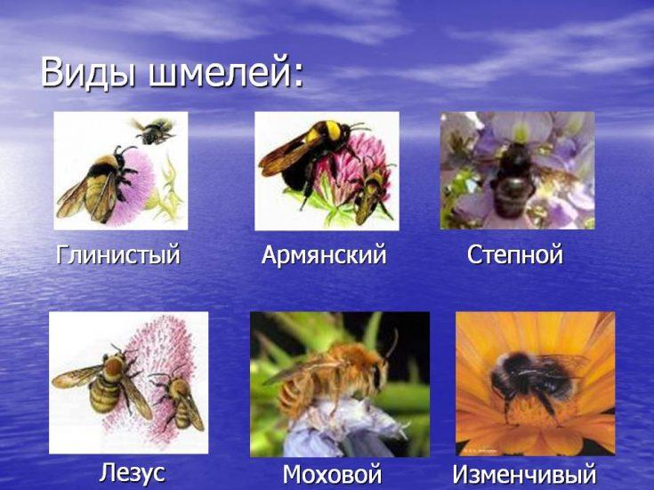 Виды шмелей с фото и названиями