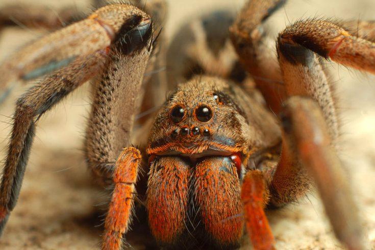 Смертельно ядовитые пауки