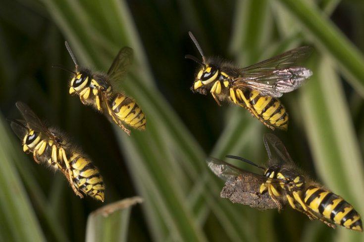 В каких местах встречаются осы