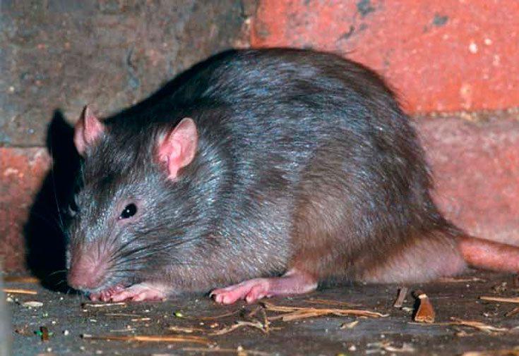 Самые большие крысы в мире