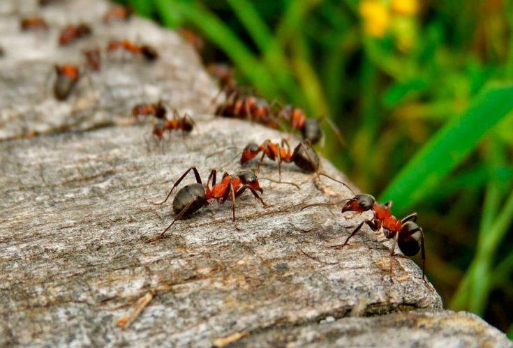 Откуда приходят муравьи