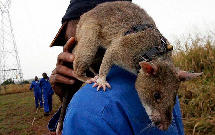 Крупные разновидности крыс
