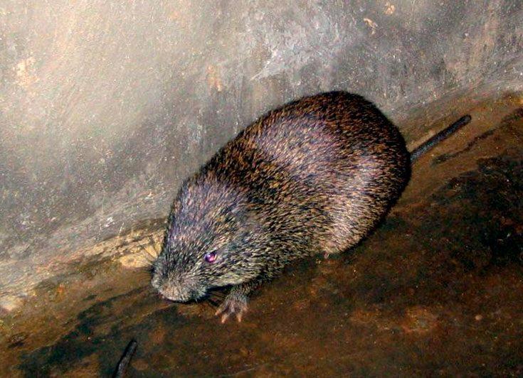 Крыса тростниковая