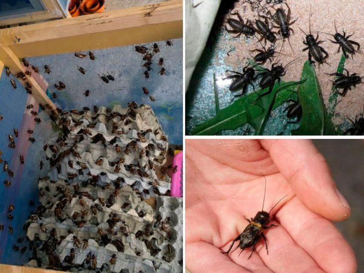Выращивание сверчков в домашних условиях