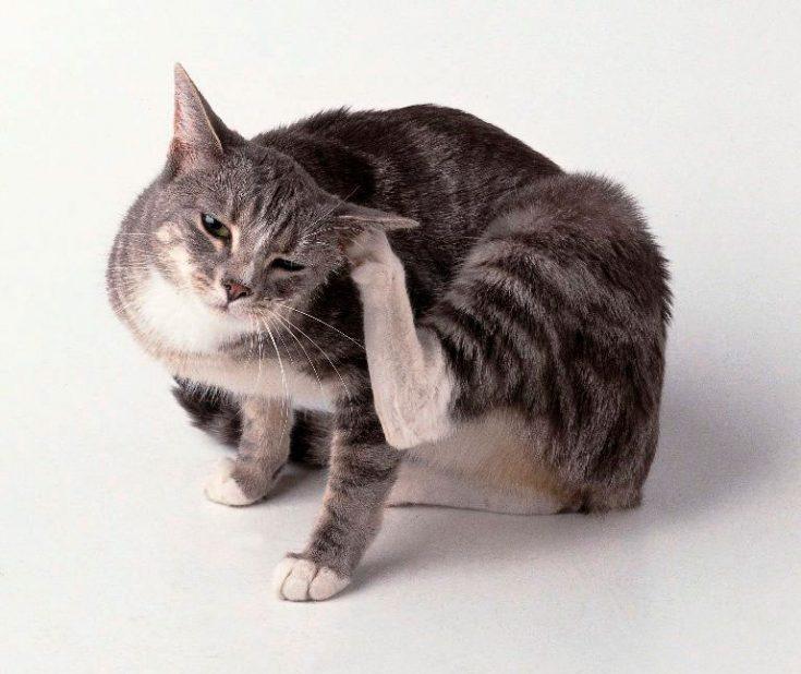 Появление ушных клещей у котов и кошек