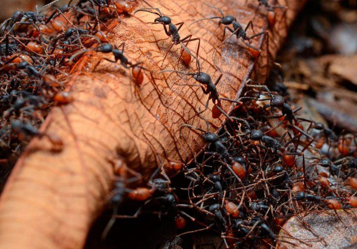 Муравьи-кочевники или муравьи-легионеры