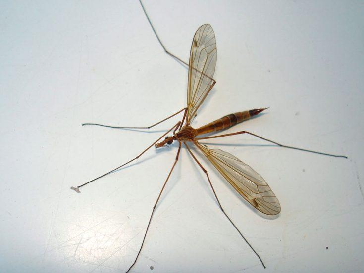 Комар «Долгоножка»