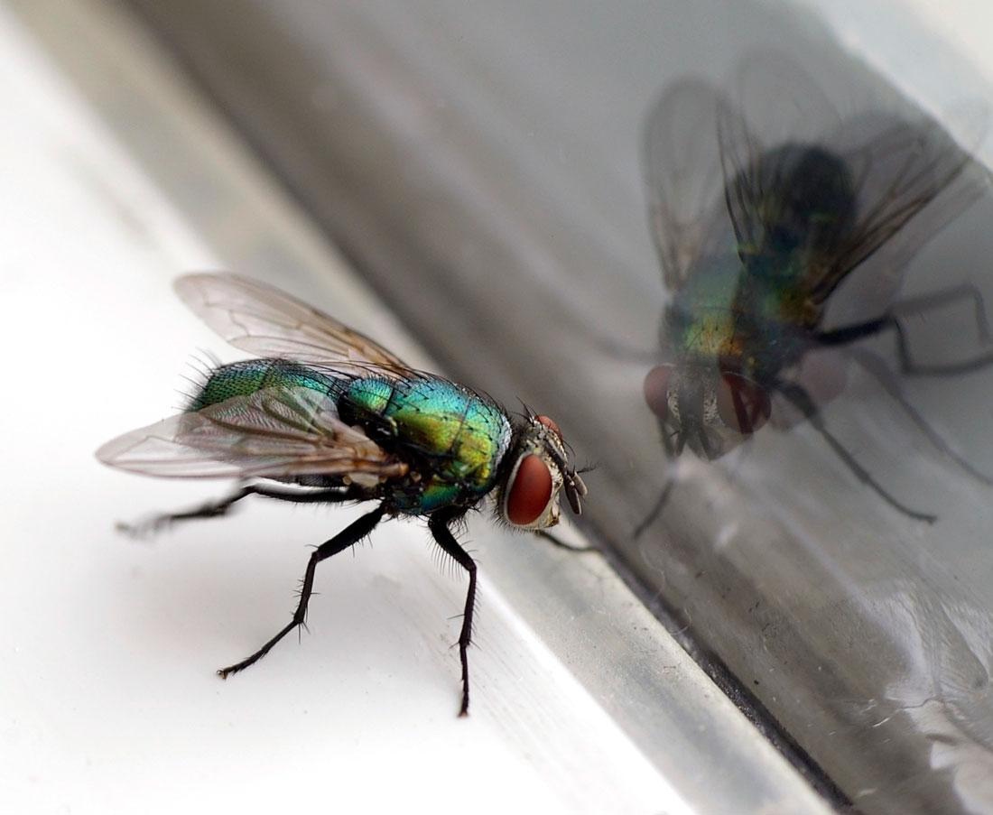 Откуда берутся мухи в доме зимой