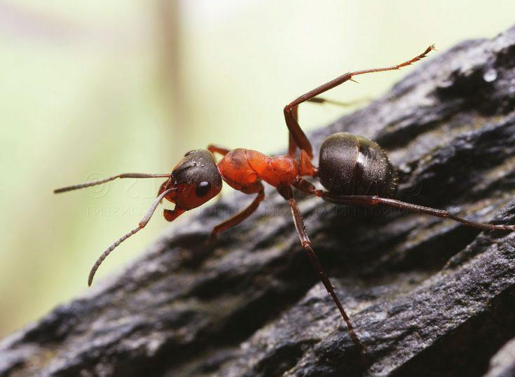 Малые лесные муравьи