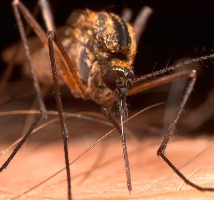 Комар кусачий с двумя полосами