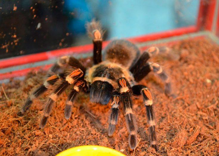 Сколько стоит паук птицеед