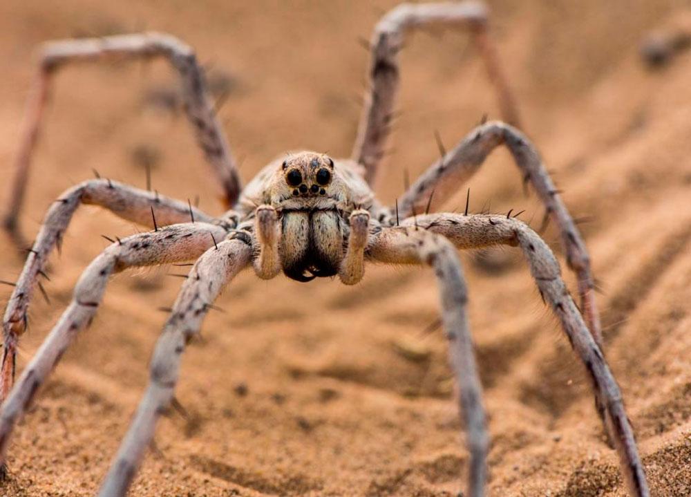 Африканский паук картинки