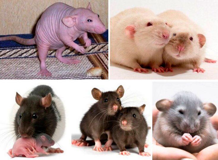 Декоративные породы крыс