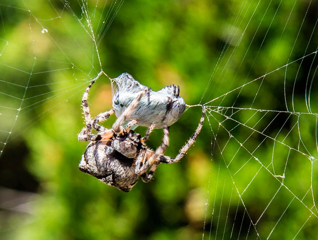 требует исправления паук крестоносец в паутине на лопатке фото только