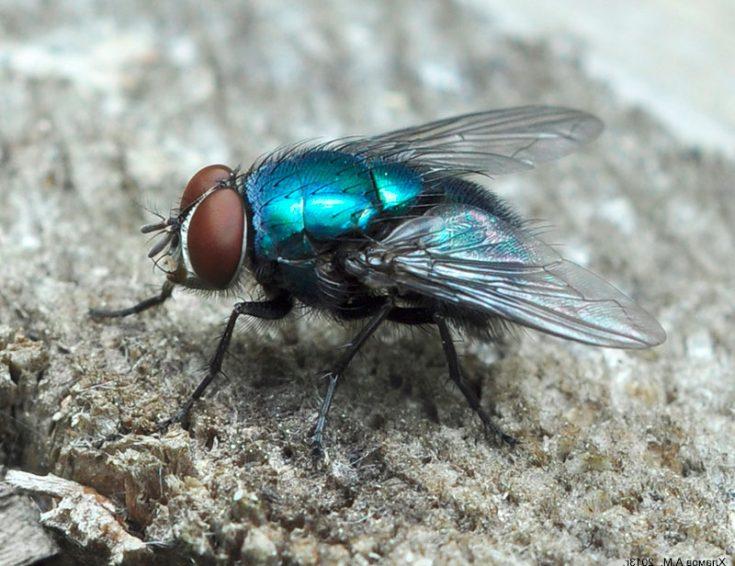 Синяя мясная муха