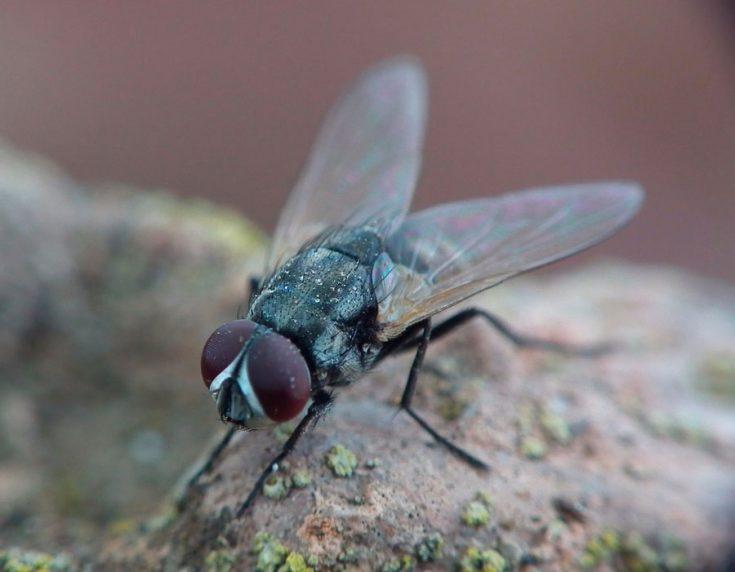 Нектарофаги