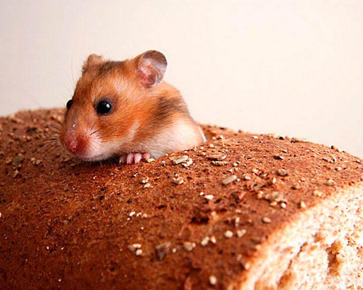 Что любят домашние мыши